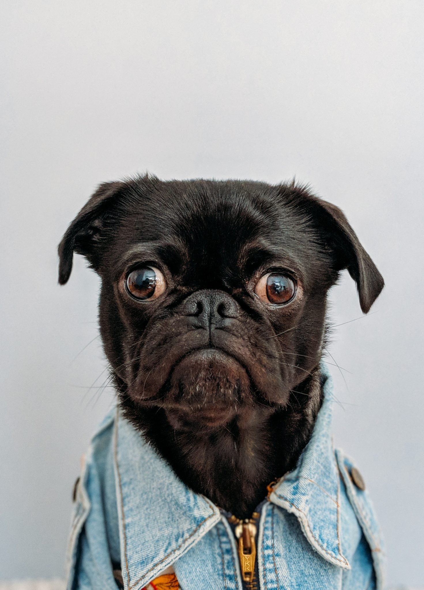 Dog wearing denim jacket